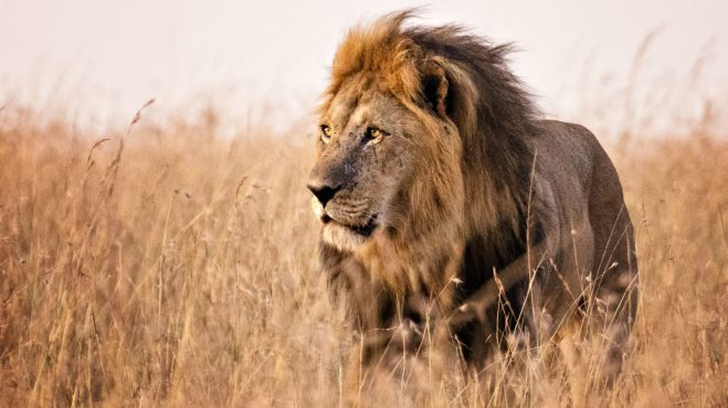 africa-lion-1600x900