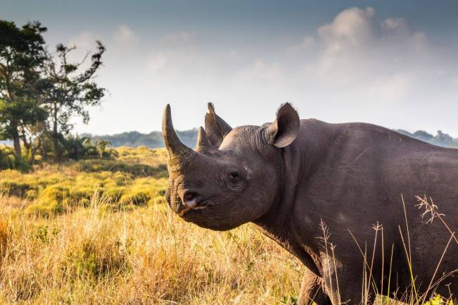 jonathans-Black-Rhino